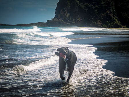 Dog Running in the Waves at Karekare Beach in Auckland New Zealand Reklamní fotografie