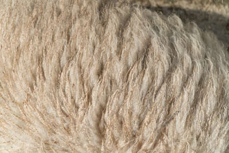 Close up of Sheep Wool on the Farm in Daylight