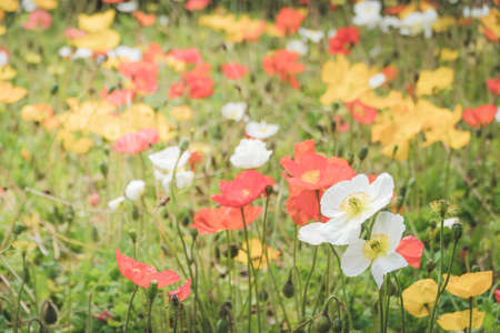 Field of red, white and yellow poppies, selective focus, horizontal Reklamní fotografie