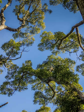Looking Up in the Branches of a Large Tree at Blue Sky