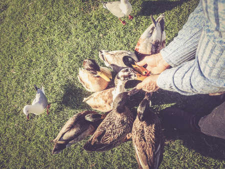 Close up personal point of view of elderly man feeding ducks from his hand