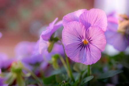 Violettes pourpres en pot et en fleurs au soleil de l'après-midi avec espace de copie
