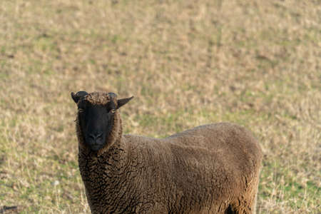 Close Up of Curious Brown Sheep in Paddock Banco de Imagens