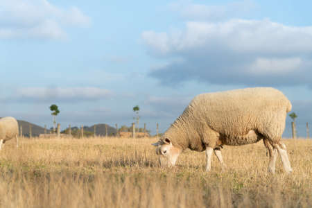 Sheep Grazing in Dry Grass Paddock in Summers Afternoon in Auckland New Zealand