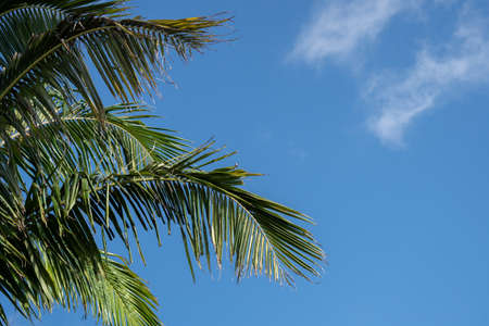 Palm Tree Branches Against a Blue Sky with Wispy Clouds on a Summers Day