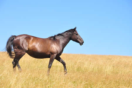 buckskin horse: Horses on a filed in a summer day