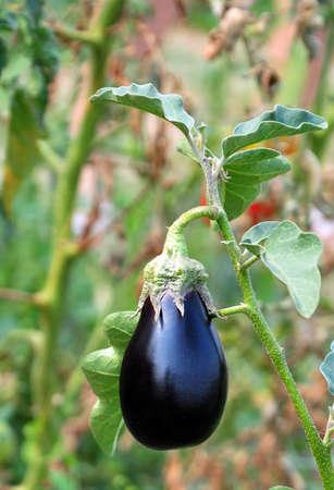 aubergine: Aubergine Eggplant