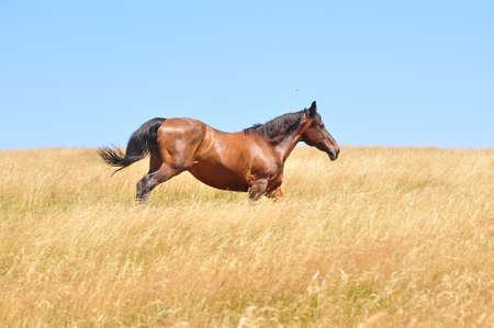buckskin horse: Beautiful horse gallops on a field, in a summer day. Stock Photo