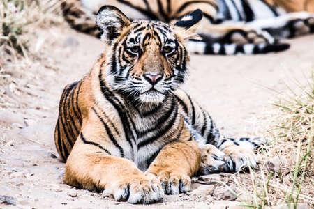 tigresa: Tigresa Cub descansando y mirando Foto de archivo