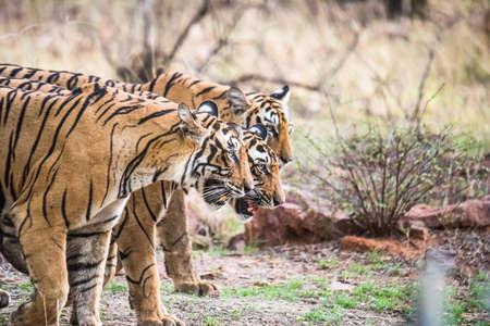 tigresa: Tigre de Bengala real