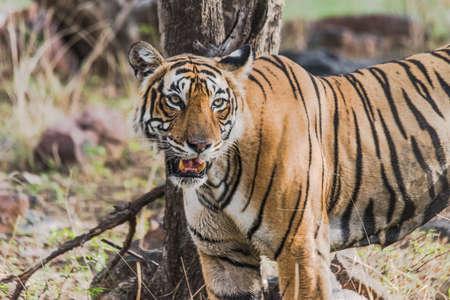 tigress: Royal Bengal Tiger
