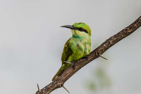 perched: Green Bee Eater perched