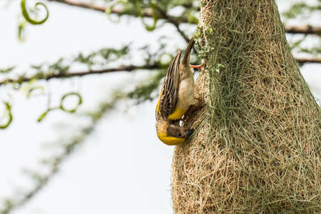 weaver bird nest: Baya Weaver Ploceus philippinus