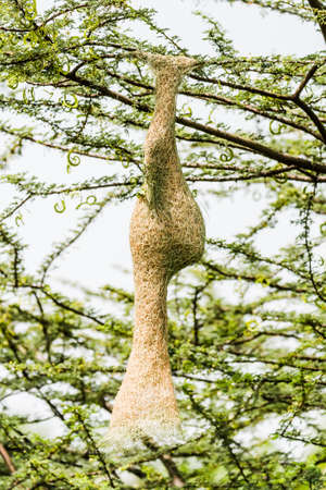 weaver bird nest: Baya Weaver Ploceus philippinus