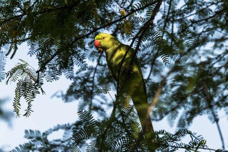 ringed: Rose ringed parakeet
