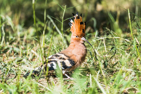 eurasian: Eurasian Hoopoe Stock Photo