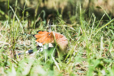 basking: Eurasian Hoopoe sun basking Stock Photo