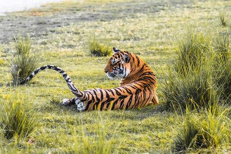 tigresa: Tigre de Bengala real T-19 Krishna Foto de archivo