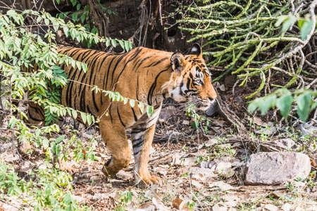 tigresa: Tigre de Bengala real T-24 Ustaad Foto de archivo
