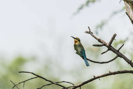 tailed: Blue Tailed Bee-eaters Merops philippinus Stock Photo