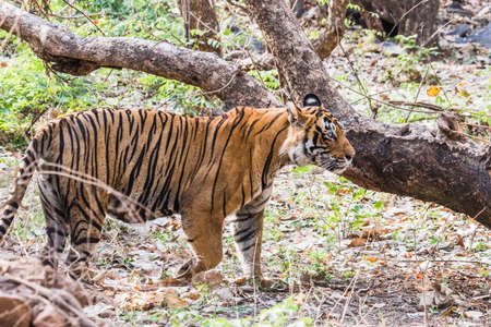 tigress: Royal Bengal Tiger T-24 Ustaad Stock Photo