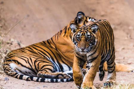 tigresa: Tigre de Bengala real Tigresa con cachorros Foto de archivo