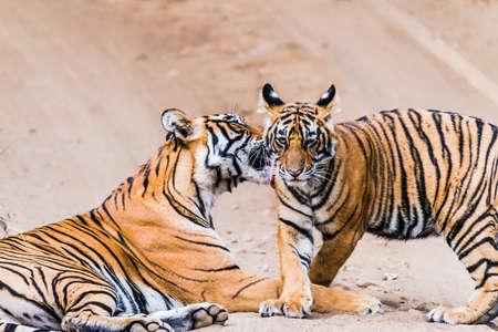 tigress: Royal Bengal Tiger  Tigress with cubs