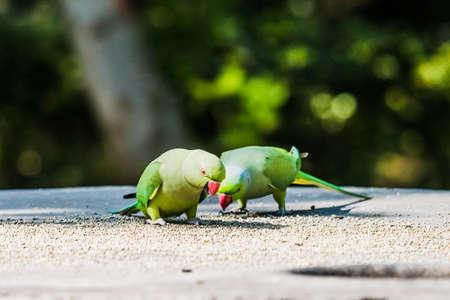 psittacidae: Rose-Ringed Parakeet