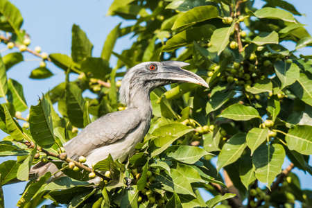 hornbill: Grey Hornbill Stock Photo
