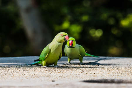 perico: Parakeet Rose-anillado Foto de archivo