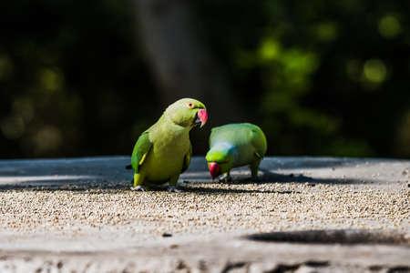 periquito: Parakeet Rose-anillado Foto de archivo