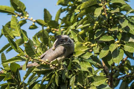 hornbill: Grey Hornbill Stock Photo