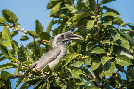 grey: Grey Hornbill Stock Photo
