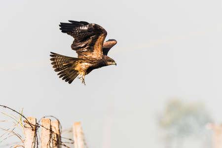 kite flying: Black Kite Flying