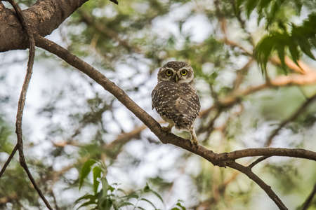 owlet: Spotted Owlet Stock Photo
