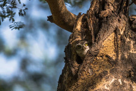 spotted: Spotted Owlet Stock Photo