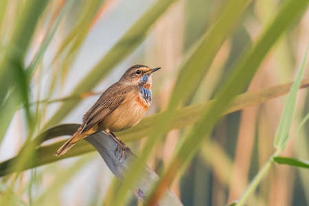 perched: Bluethroat perched Stock Photo