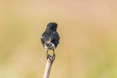 perched: Pied Bush chat perched
