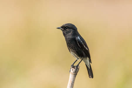 pied: Pied Bush chat perched