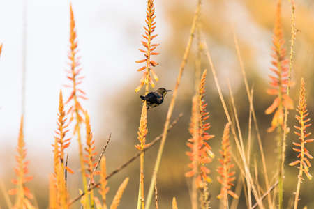 nectaring: Male Purple sunbirds nectaring from garden of flowers