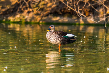 billed: Spot billed duck swimming in a lake Stock Photo