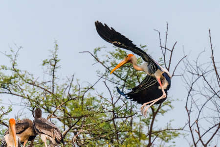 plains indian: The painted stork is a large wading bird in the stork family. It is found in the wetlands of the plains of tropical Asia south of the Himalayas in the Indian Subcontinent and extending into Southeast Asia Stock Photo