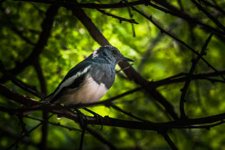 classed: Oriental magpie-robin is a small passerine bird that was formerly classed as a member of the thrush family Turdidae, but now considered an Old World flycatcher
