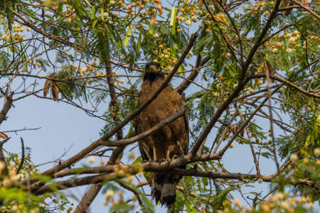 habitats: Crested serpent eagle is a medium-sized bird of prey that is found in forested habitats across tropical Asia