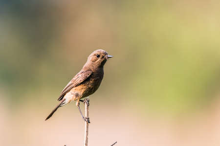 curiously: Pied Bushchat female with food curiously trying to find a partner to share the food. Stock Photo