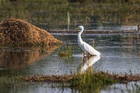 ardeidae: Little Egret Stock Photo