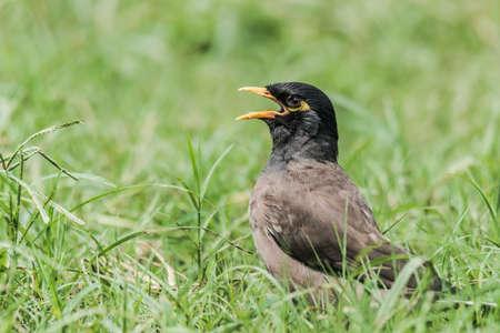 common myna bird: Common Myna sun basking Stock Photo
