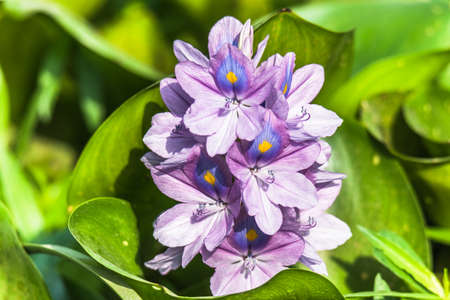 angiosperms: Eichhornia crassipes or Common water hyacinth flower a beautiful and attractive flowers Stock Photo