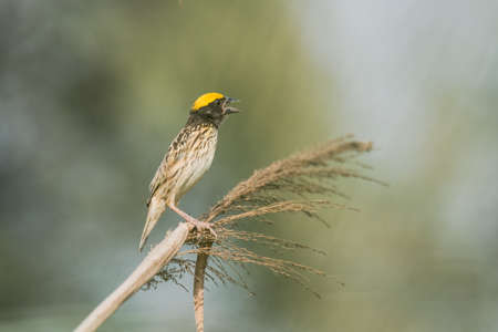 weaver: Streaked weaver perched, Ploceus manyar. The streaked weaver is a species of weaver bird found in South Asia. These are not as common as the baya weaver but are similar looking but have streaked underparts. Stock Photo