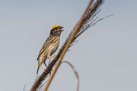 weavers: Streaked weaver perched, Ploceus manyar. The streaked weaver is a species of weaver bird found in South Asia. These are not as common as the baya weaver but are similar looking but have streaked underparts. Stock Photo